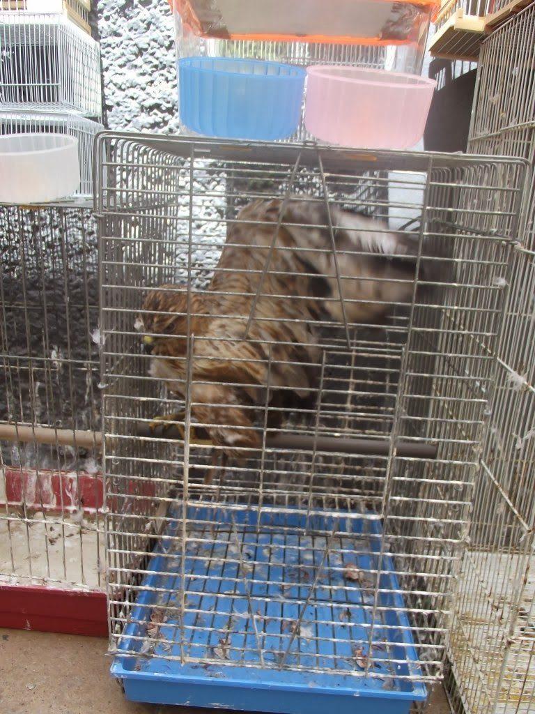 Common Buzzard (Buteo buteo), Rabat