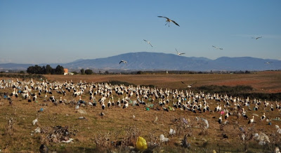 Another view of White Storks at the rubbish dump