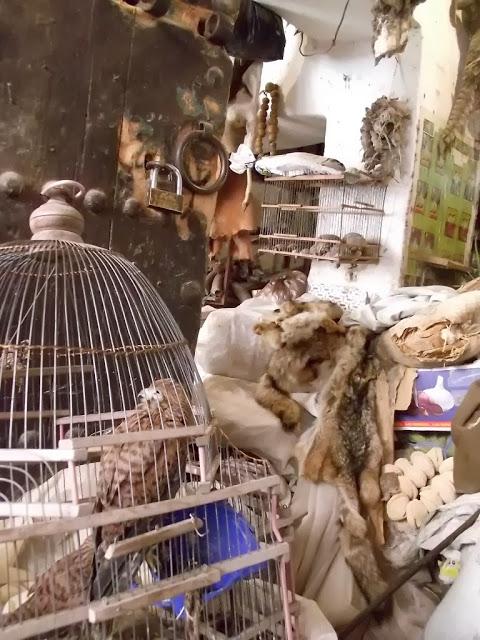 Caged Common Kestrel (Falco tinnunculus), Mellah spice market, Marrakesh