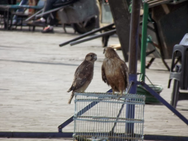 Barbary Falcon (Falco pelegrinoides) and Atlas Long-legged Buzzard (Buteo rufinus cirtensis), Jemaa el-Fnaa, Marrakech