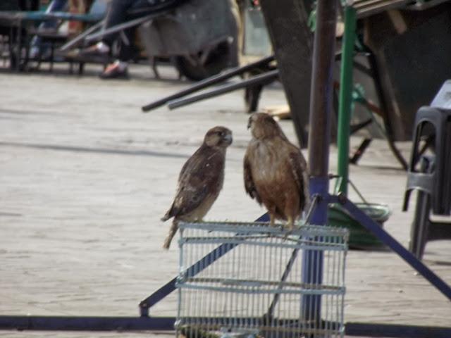 Barbary Falcon (Falco pelegrinoides) and Atlas Long-legged Buzzard (Buteo rufinus cirtensis), Jemaa el-Fnaa, Marrakech