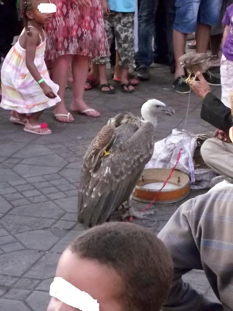 Rüppell's Vulture (Gyps rueppellii) and Common Kestrels (Falco tinnunculus), Jemaa el-Fnaa, Marrakech