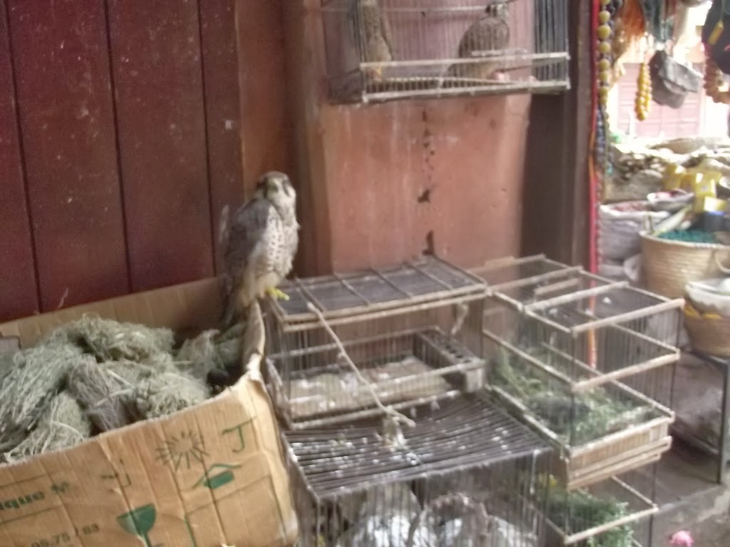 Lanner Falcon (Falco biarmicus), Jemaa el-Fnaa, Marrakech