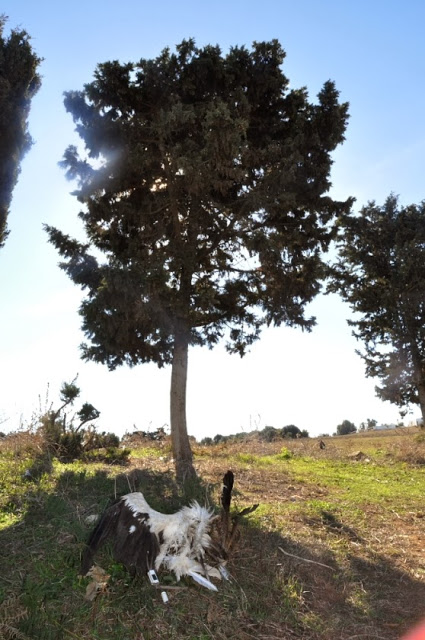 The carcass of the White Stork with the tree where it died