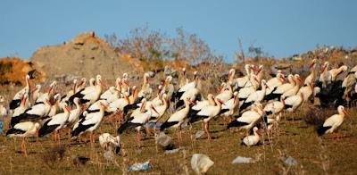Partial view of about 300 White Storks at the rubbish dump (900 m from the roosting site)