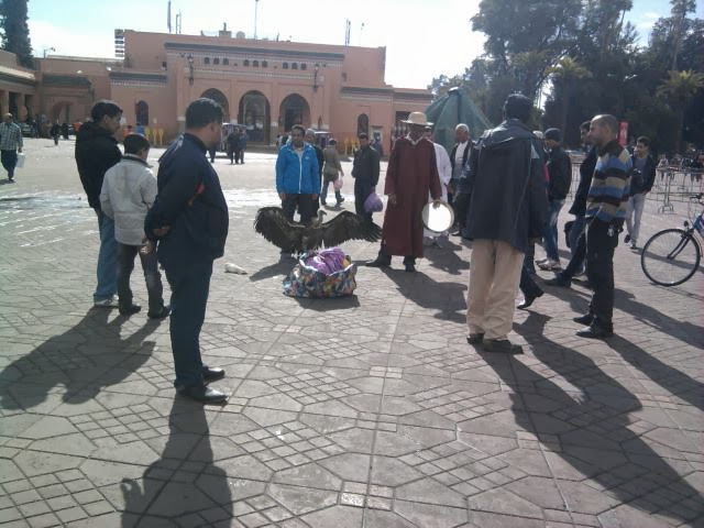 Rüppell's Vulture / Vautour de Rüppell (Gyps rueppelli), Jemaa el-Fna, Marrakech (Hassan Talibi)