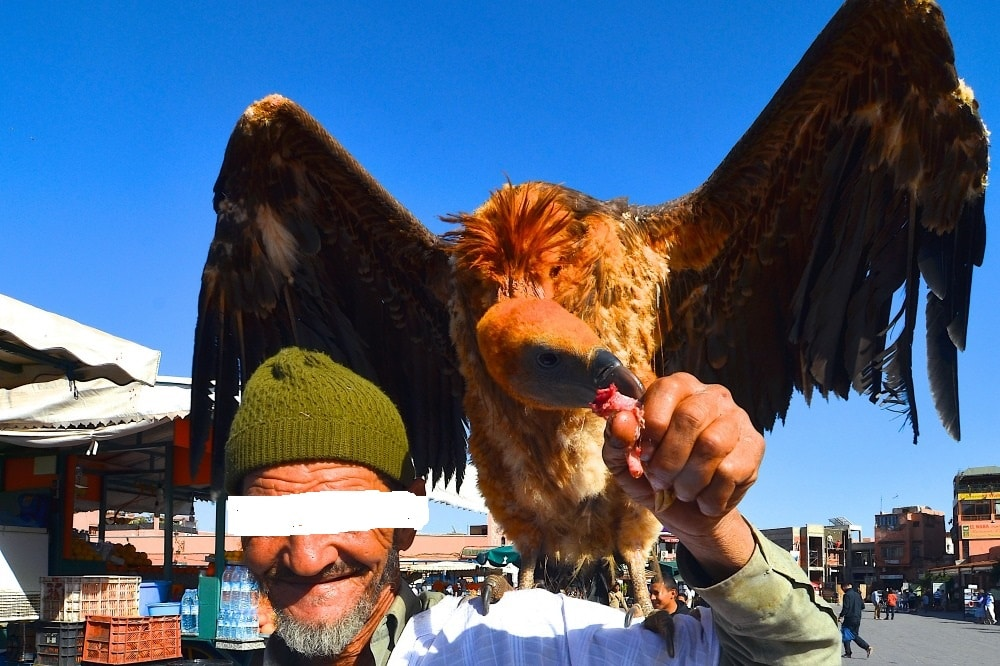 Rüppell's Vulture (Gyps rueppelli) exhibited for tourists at Jemaa el-Fna, Marrakech for nearly a year (this photo taken on 19 March 2014 by Anne Sterck)