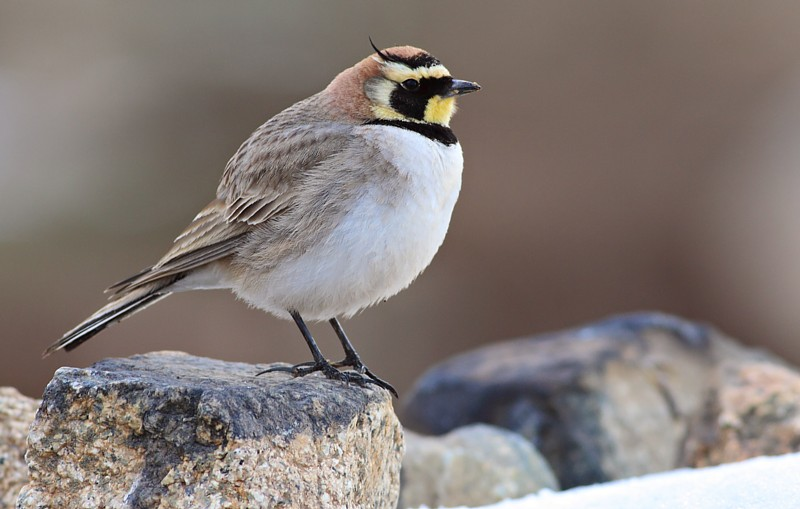 Moroccan Horned Lark [Eremophila (alpestris) atlas], Atlas Mountains, Morocco, March 2014 (Ruben and Jorrit Vlot)