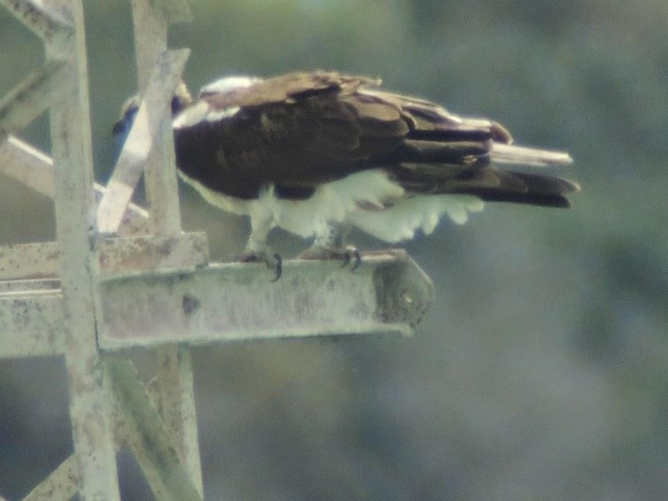 Osprey (Pandion haliaetus) born in Morocco in 2012 found breeding in Cádiz, Spain in 2014 (José Luis Garzón/Amigos del Águila Pescadora)