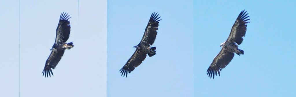 3 different Rüppell's Vultures observed at Jbel Bouhachem, northern Morocco
