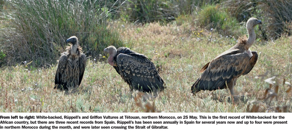 White-backed (Gyps africanus), Rüppell's (Gyps rueppelli) and Griffon (Gyps fulvus) vultures, Tétouan, northern Morocco
