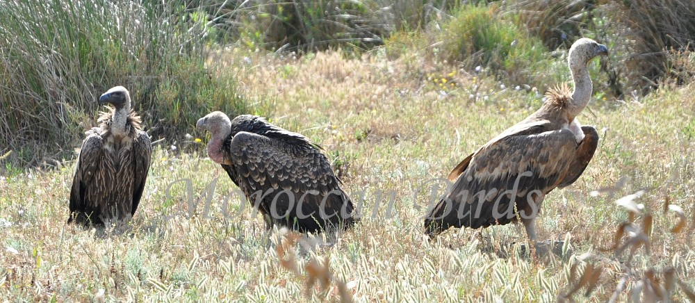 Three Gyps vulture species at Tétouan, northern Morocco. From left to right: White-backed (Gyps africanus), Rüppell's (Gyps rueppellii) and Griffon (Gyps fulvus) vultures.