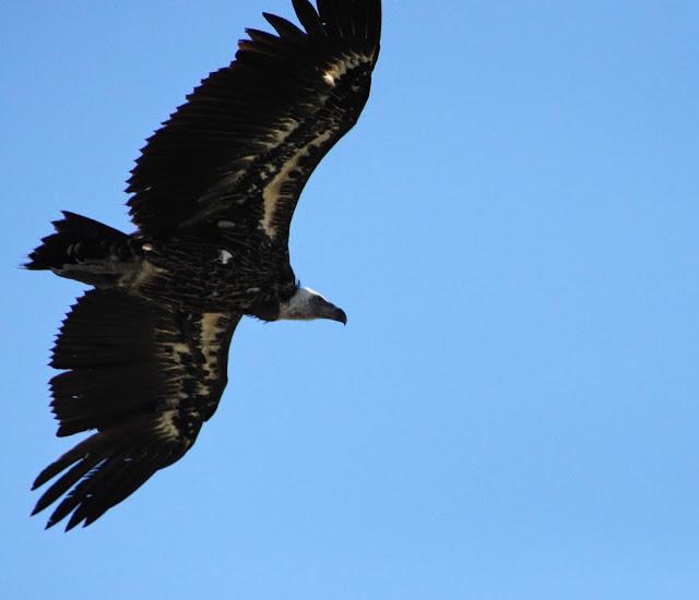 Rüppell's Vulture (Gyps rueppellii), Jbel Moussa, 11 May 2014 (bird 1)