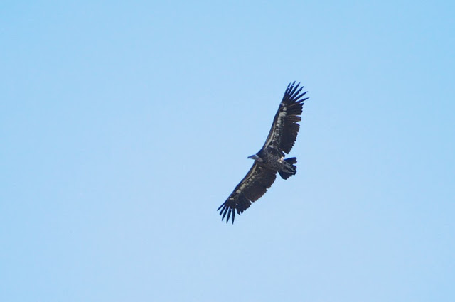 Rüppell's Vulture (Gyps rueppellii), Jbel Bouhachem