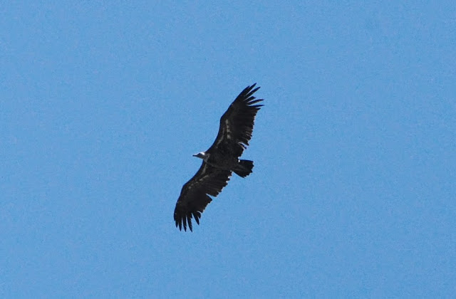 Rüppell's Vulture (Gyps rueppellii), Jbel Moussa, 11 May 2014 (bird 3)