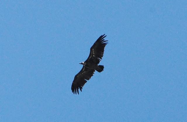 Rüppell's Vulture (Gyps rueppellii), Jbel Moussa, 11 May 2014 (bird 3)