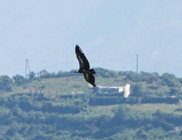 Rüppell's Vulture (Gyps rueppellii), Jbel Moussa, 11 May 2014 (bird 4)
