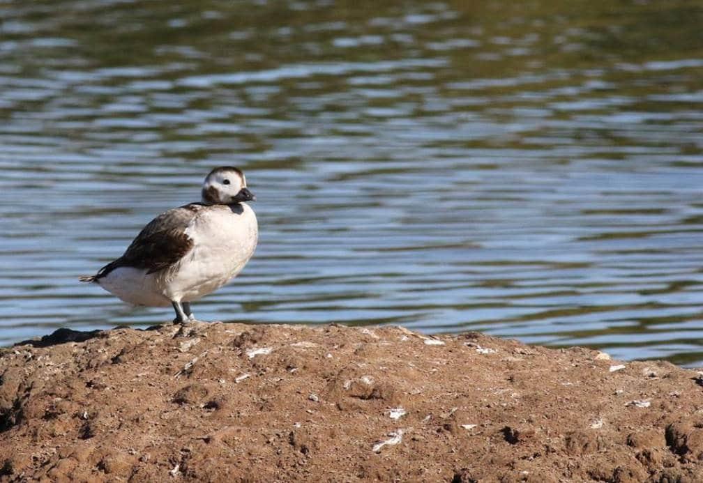 Long-tailed Duck (Clangula hyemalis), Essaouira, Morocco, 4 January 2015 (Brahim Bakass)