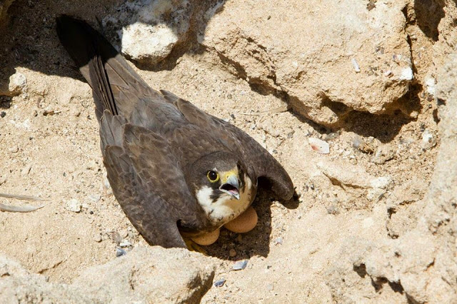 Eleonora's Falcon (Falco eleonorae) incubating two eggs. The Eleonora's can lay up to 4 eggs, those of Essaouira lay 3 on average (GREPOM-PIM).
