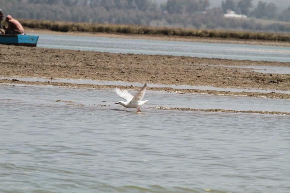 Slender-billed Gull / Goéland railleur (Chroicocephalus genei), Merja Zerga, Morocco (Said Lahrouz)