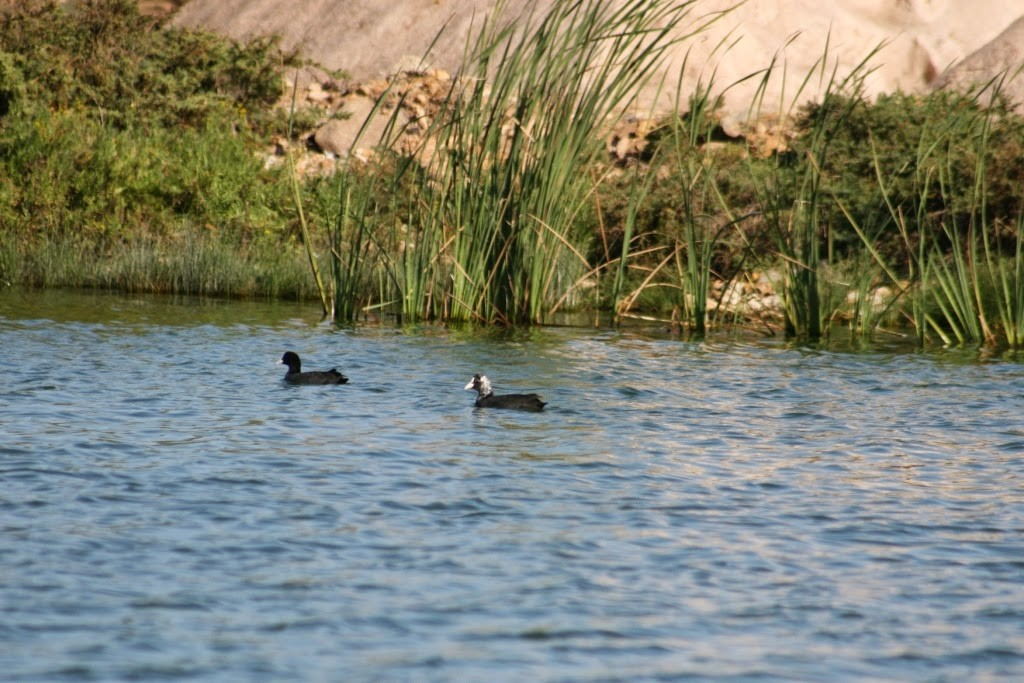 Common Coot / Foulque macroule (Fulica atra), lagoon of Sidi Moussa (Ruth García Gorria).