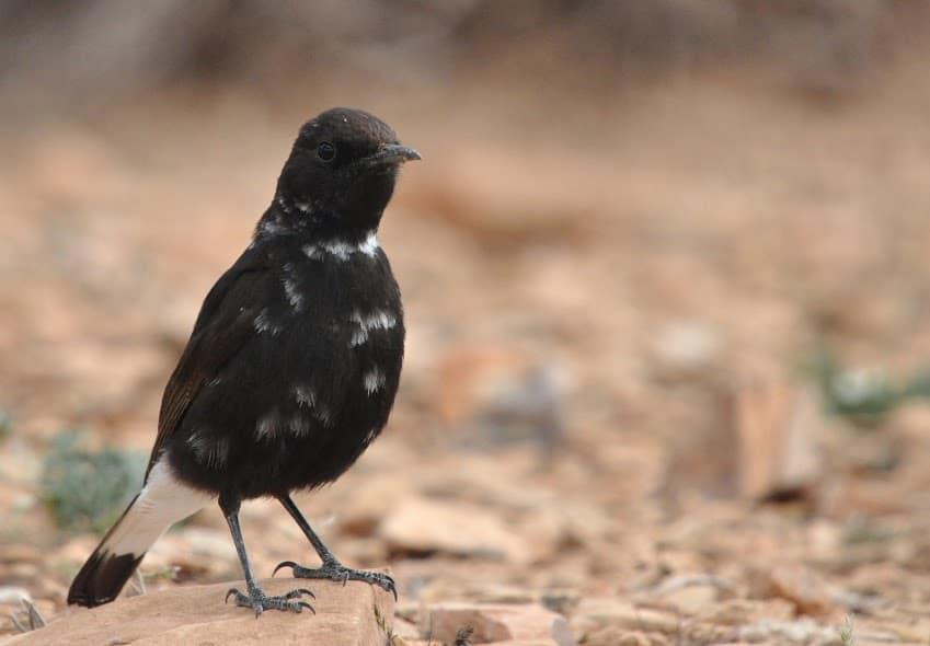 Black Wheatear / Traquet rieur (Oenanthe leucura), Midelt, Morocco (Rachid El Khamlichi).