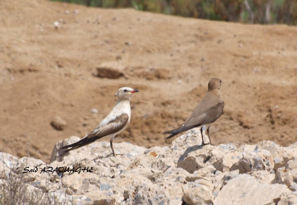 Partially leucistic Collared Pratincole (Glareola pratincola), Sebkha Bou Areg, July 2015 (Said Azaouaghe)