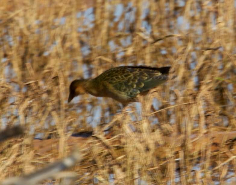 Allen's Gallinule (Porphyrio alleni), Oued Massa, Morocco, 31 Dec. 2014 (Daniel Vrauwdeunt).