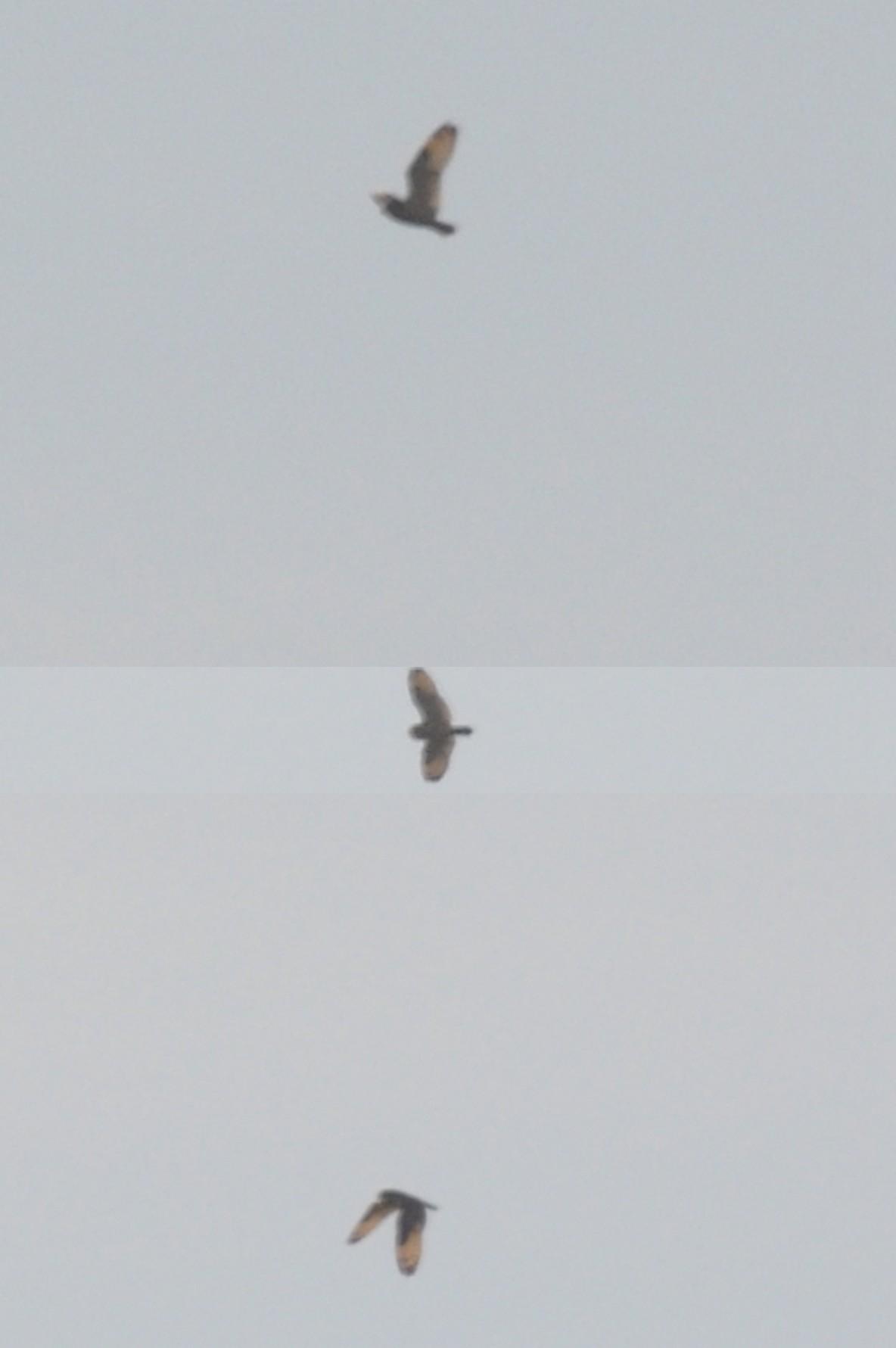 Marsh Owl / Hibou du Cap (Asio capensis), Oued Martil, northern Morocco, 16 Oct. 2011 (Rachid El Khamlichi).