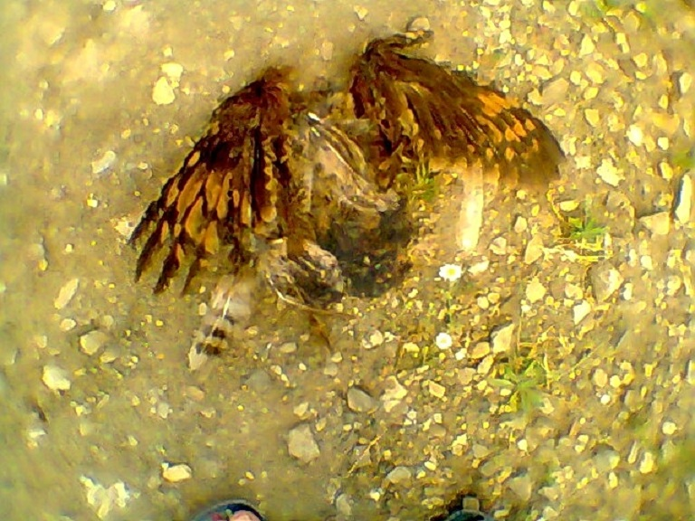 Marsh Owl (Asio capensis) road-killed at Larbaa Ayacha, northern Morocco, 7 June 2012 (Rachid El Khamlichi).