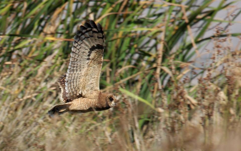 Marsh Owl / Hibou du Cap (Asio capensis), Lower Loukkos marshes, December 2014 (Imad Yassine).