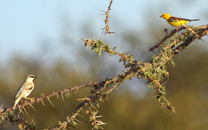 Sudan Golden Sparrow (Passer luteus), Oued Jenna, Aousserd, southern Morocco