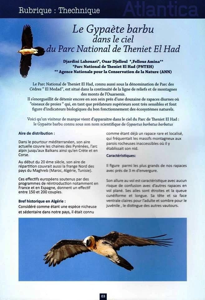 Le Gypaète barbu dans le ciel du Parc National de Theniet El Had, Algérie (page 1)
