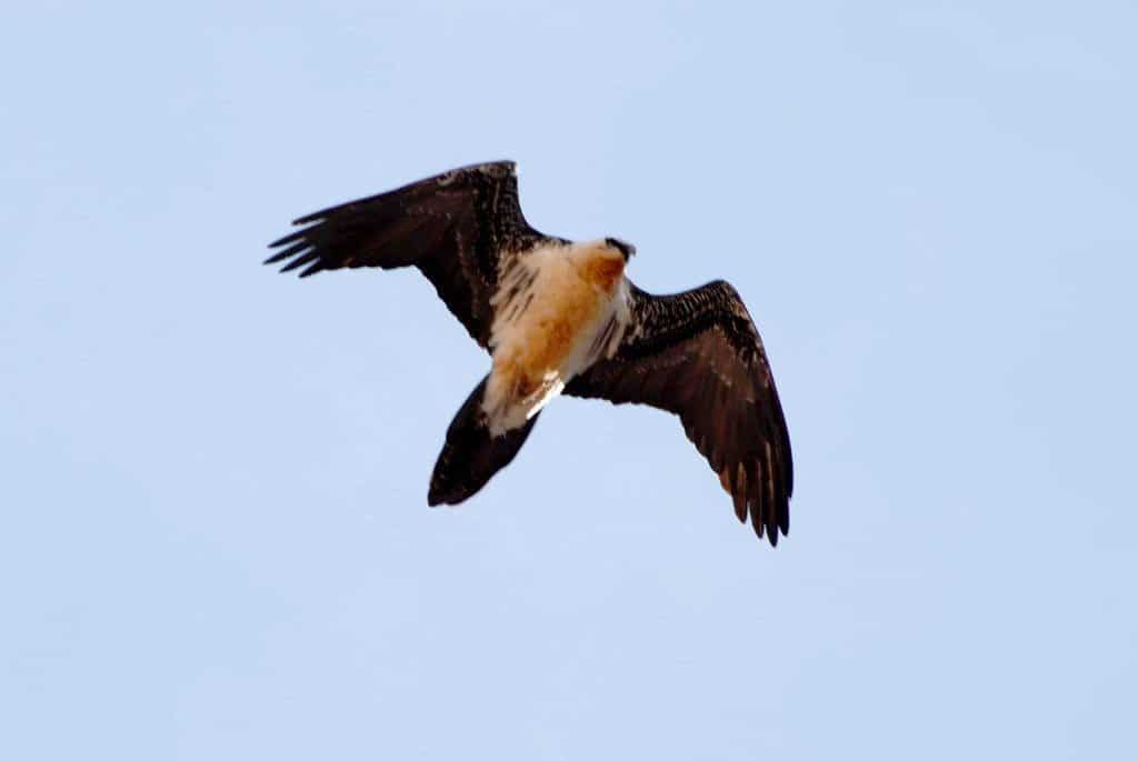 Bearded Vulture (Gypaetus barbatus) in the Atlas Mountains of Morocco (Juan José Ramos and colleagues).