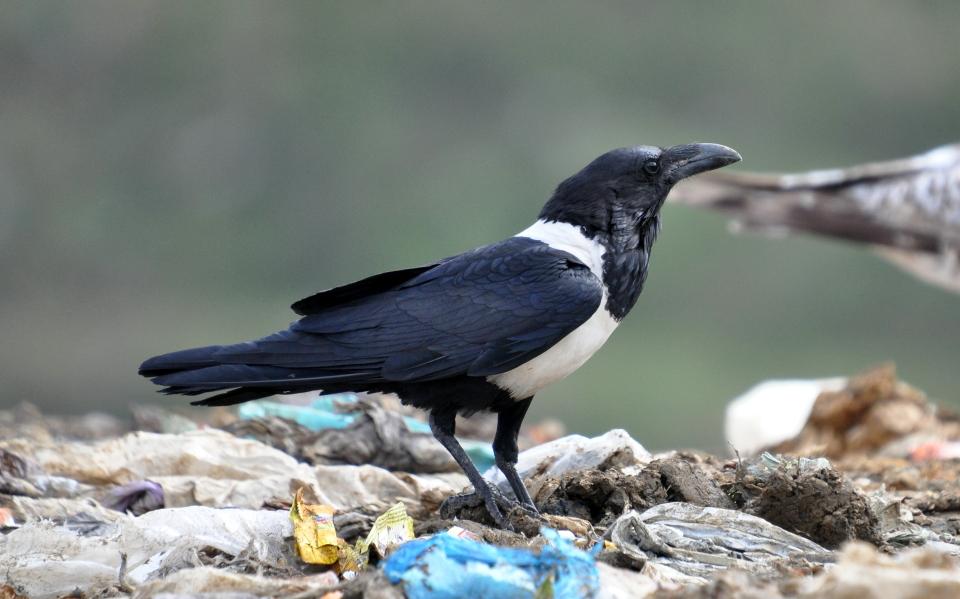 Pied Crow (Corvus albus), near Fnideq, near Strait of Gibraltar, Morocco, 26 March 2015.