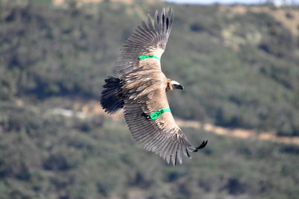 النسر الأسمر حر طليق نواحي محمية جبل موسى، شمال المغرب // Griffon Vulture 'MA1' after its release near Jbel Moussa (Rachid El Khamlichi)