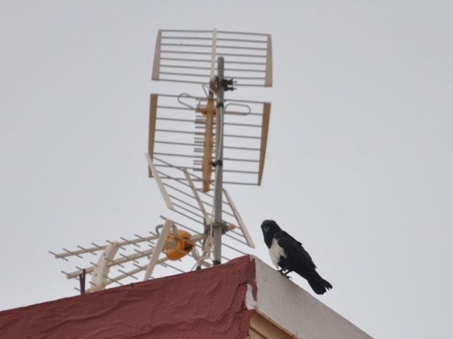 Pied Crow / Corbeau pie (Corvus albus), Fnideq, northern Morocco, 10 October 2015.