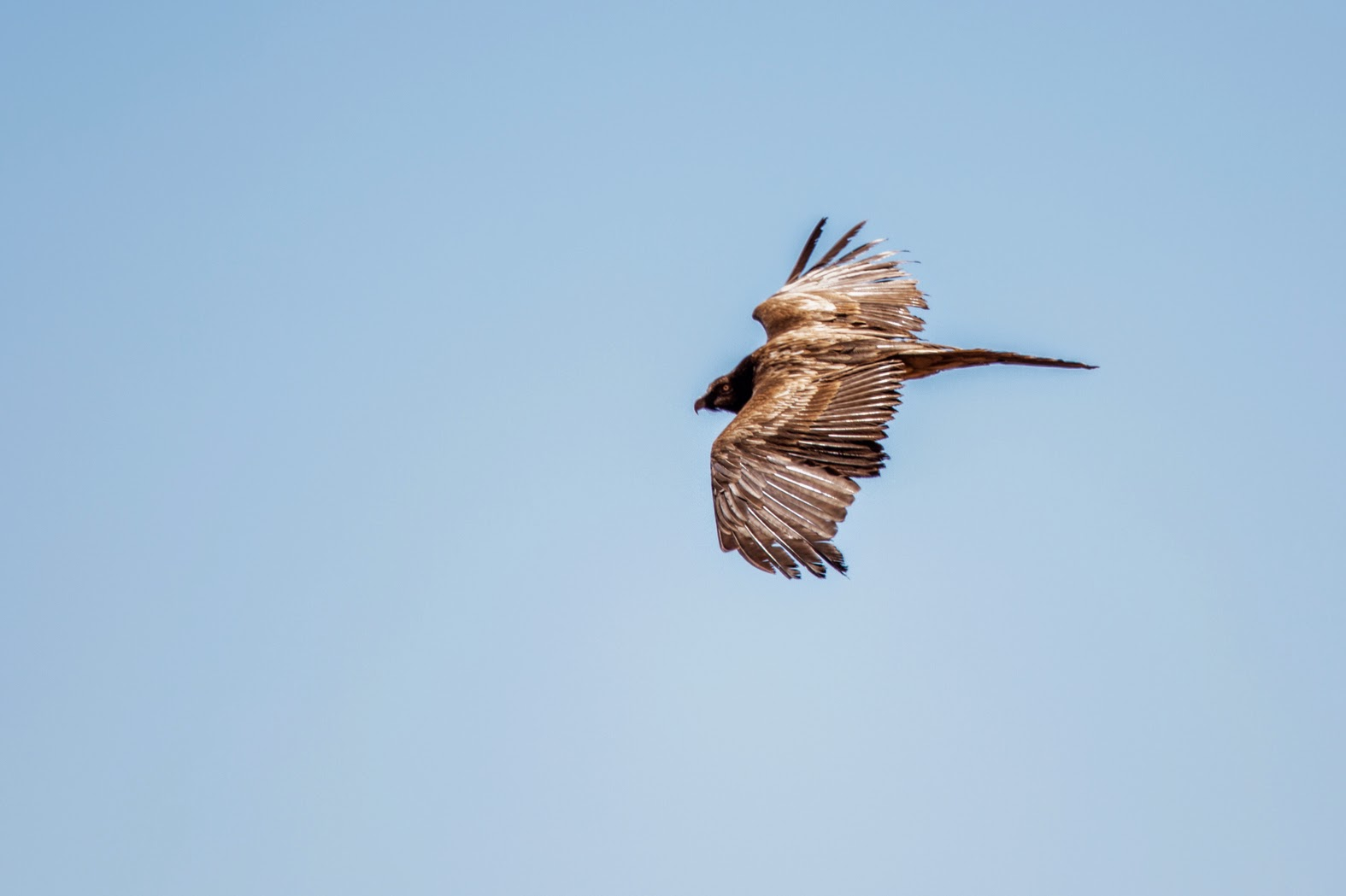 Bearded Vulture / Gypaète barbu (Gypaetus barbatus), Jbel Toubkal, High Atlas, Morocco, 07 March 2015 (Ali Irizi).