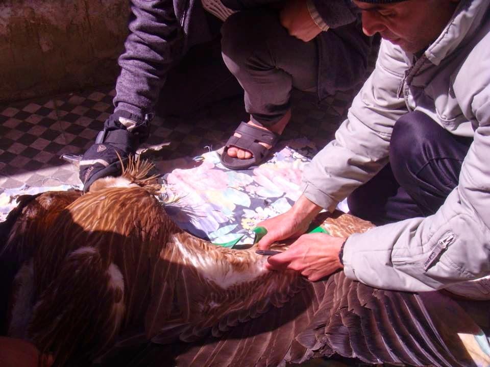 تثبيت العلامة المرقمة في الجناح لتسهيل عملية تتبعه // Wing-tagging the vulture at Tétouan (Mohamed Amezian)