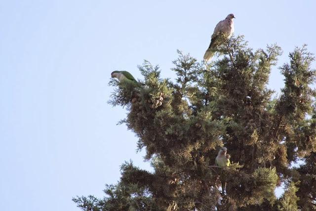 Monk Parakeets / Conures veuves (Myiopsitta monachus), Annakhil, Marrakech, 16 Nov. 2014 (Stephane Abtan).