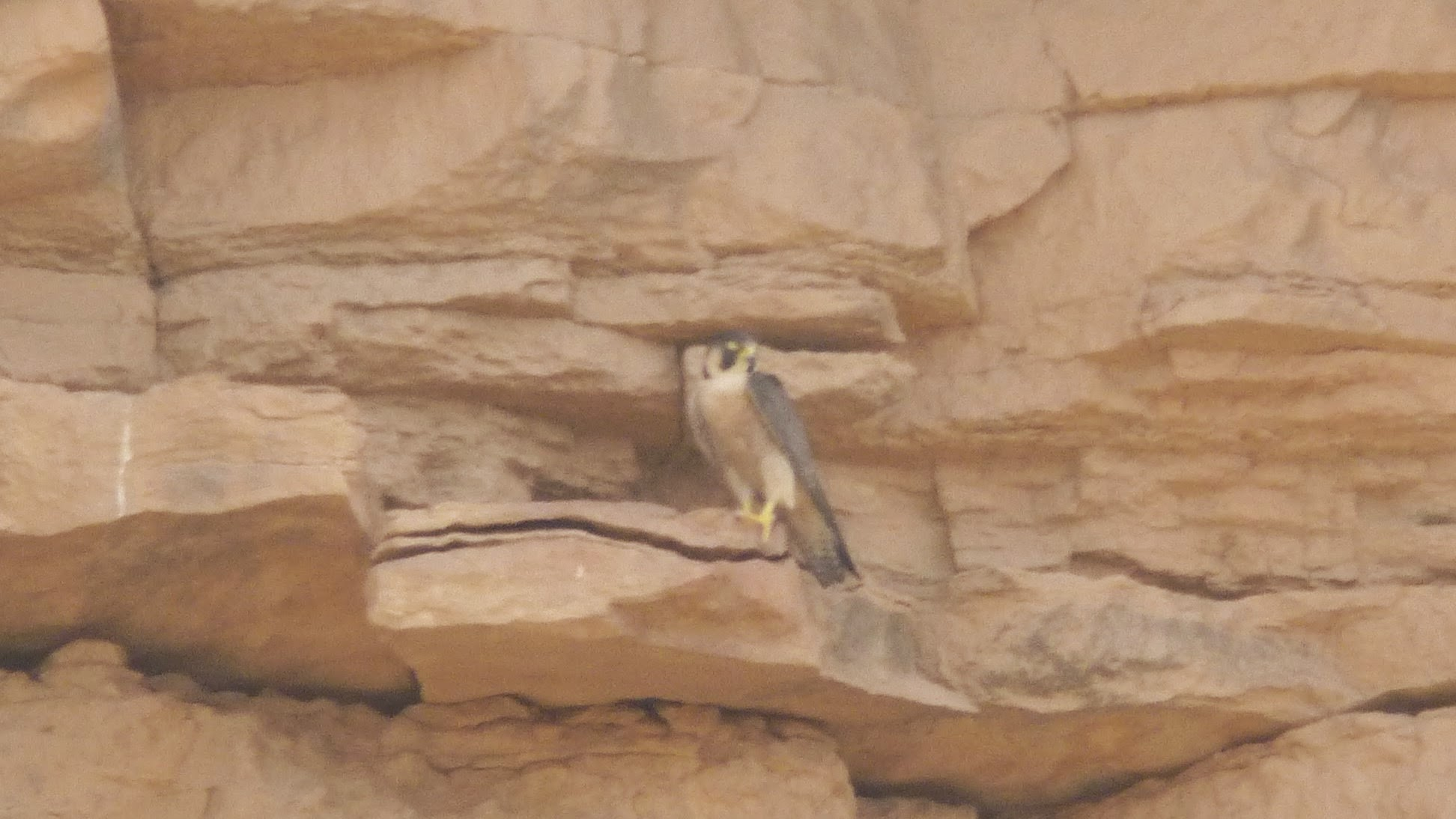 Barbary Falcon (Falco pelegrinoides), Rissani, Morocco, April 2015 (David Walsh)
