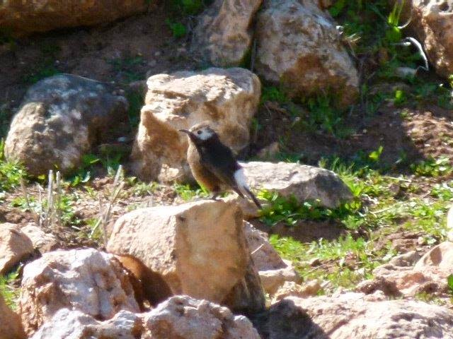 Mystery wheatear (Oenanthe sp.), Atlas Mountains, Morocco (Chris Smallbones)