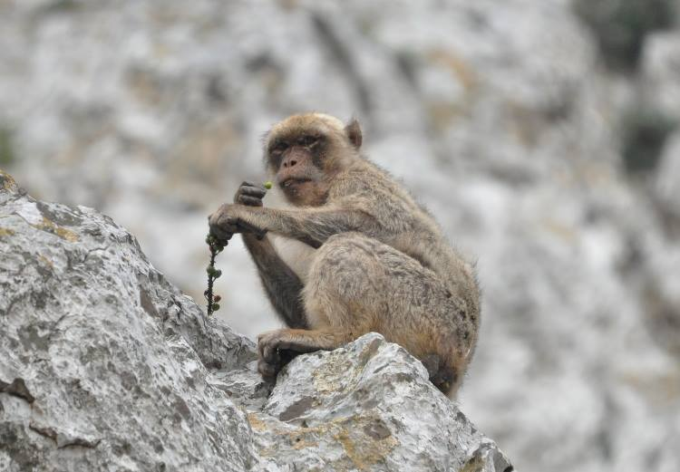 Barbary macaque enjoying wild fruits and watching the photographer, Jbel Moussa, Morocco