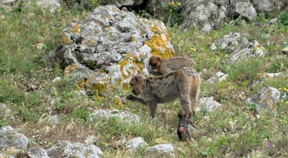 Adult Barbary macaques feeding and the newborn baby learning!, Jbel Moussa, Morocco