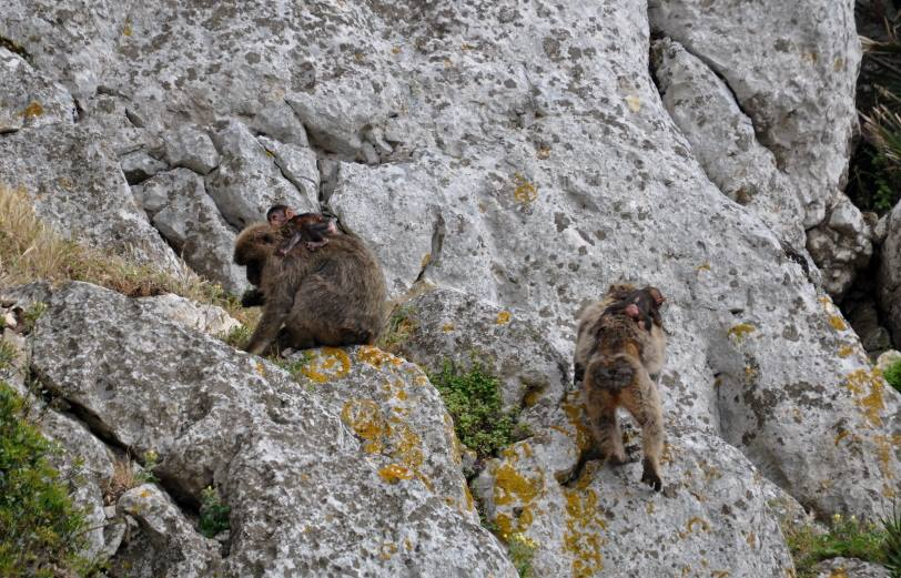 Adult Barbary macaques with their babies actively feeding on the steep rocks of Jbel Moussa, Morocco
