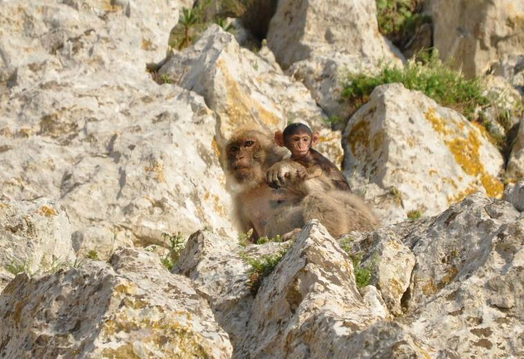 Barbary macaques (Macaca sylvanus): watchful mother and its baby, Jbel Moussa, Morocco