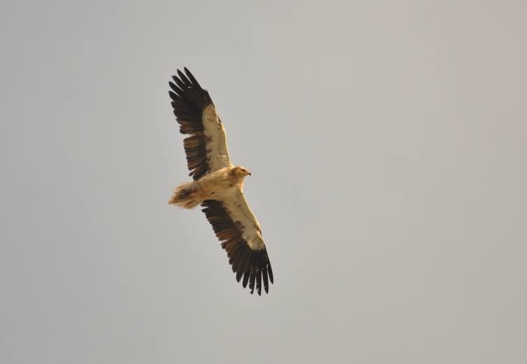 Subadult Egyptian Vulture (Neophron percnopterus), Jbel Moussa, Morocco, 29 May 2015.