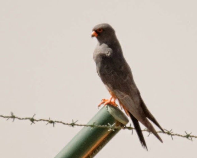 Red-footed Falcon (Falco vespertinus - Faucon kobez), Enjil Plateau, eastern Morocco, 10 May 2015 (Karim Laïdi)