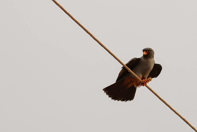Red-footed Falcon (Falco vespertinus) feeding, Marrakech region, 13 May 2015 (Brahim Bakass)