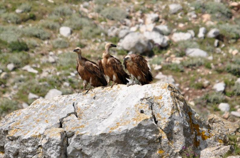 Griffon Vultures (Gyps fulvus) resting at Jbel Moussa, Morocco, 29 May 2017.
